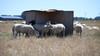 Steekproef Wakker Dier: Driekwart van schapen in Noord-Holland heeft geen schaduw
