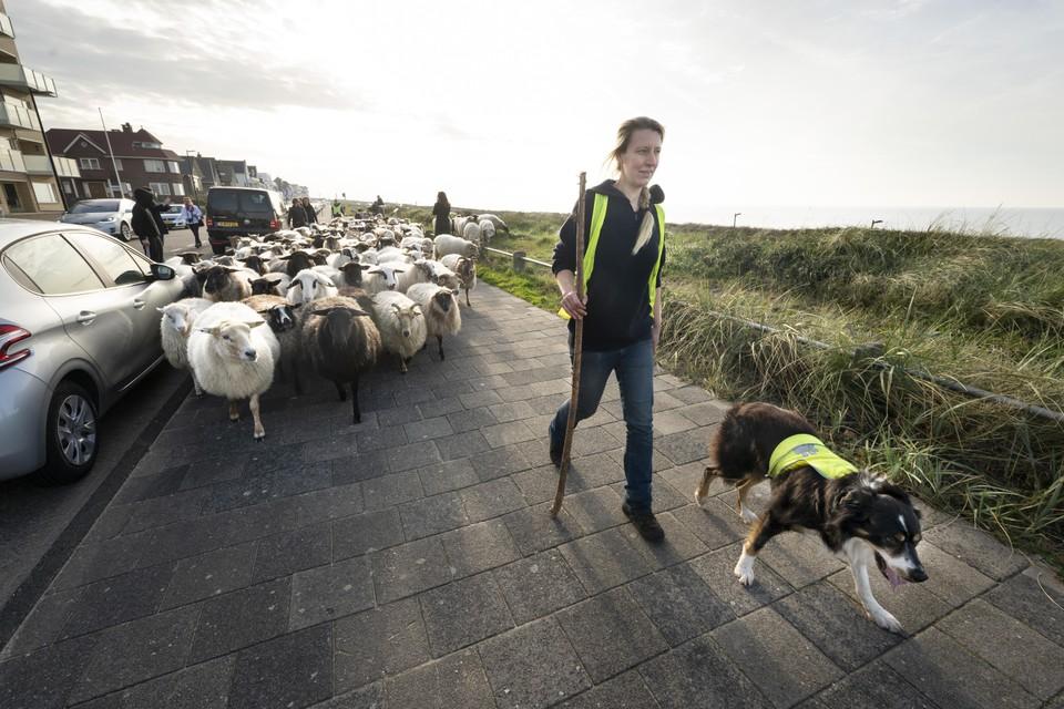 Daphne Hogeweg en haar 'rechterhond' Ewan leiden de schaapskude over de Koninging Astridboulevard.