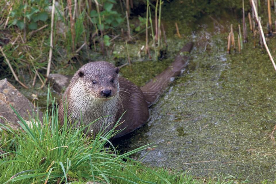 Het gaat goed met de otter in Nederland