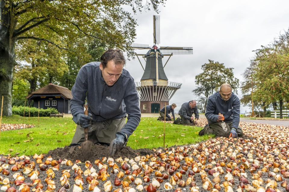 Medewerkers van Keukenhof plantten in oktober 2020 bloembollen voor dit seizoen, maar het is nog onduidelijk wanneer het publiek het resultaat kan bewonderen.