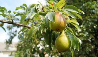 Oude koelkast levert vijf perenbomen op