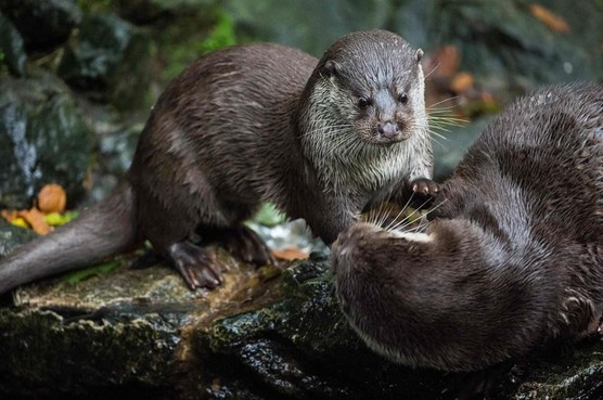 Video: Otters in polder bij Bodegraven