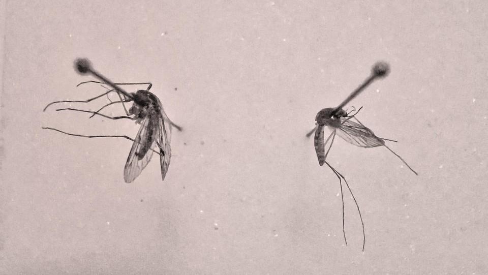 Twee steekmuggen: links Culiseta annulata (grote steekmug) en rechts Culex pipiens (gewone steekmug)