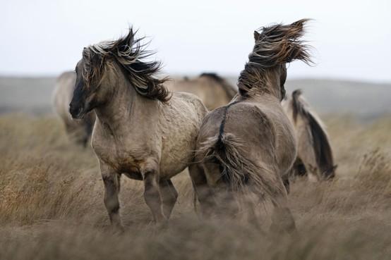 Konikpaarden mogen toch op Texel blijven: 'Maar blijf van de paarden af'