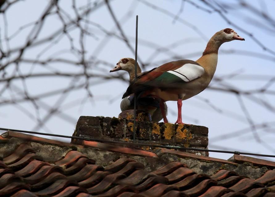 Een paartje Nijlganzen op het dak van de boerderij in de Leidse Hout.