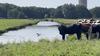 Brandweer redt een koe die in de sloot viel [video]