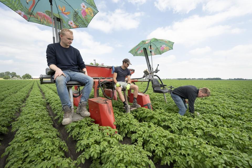 Ziekzoeken in het aardappelveld. Tim Rewijk verwijdert de plant, Bas Kempenaar en Dirk-Jan Vonk kijken toe vanonder de parasolletjes.