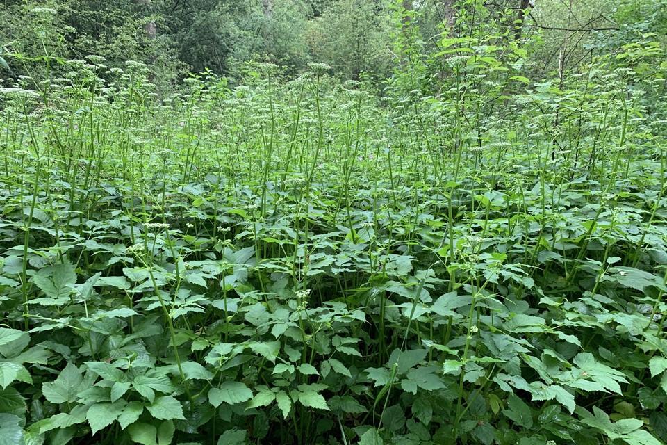 Een veldje zevenblad, hier in Thijsse's hof in Bloemendaal, is niet onaardig om te zien.
