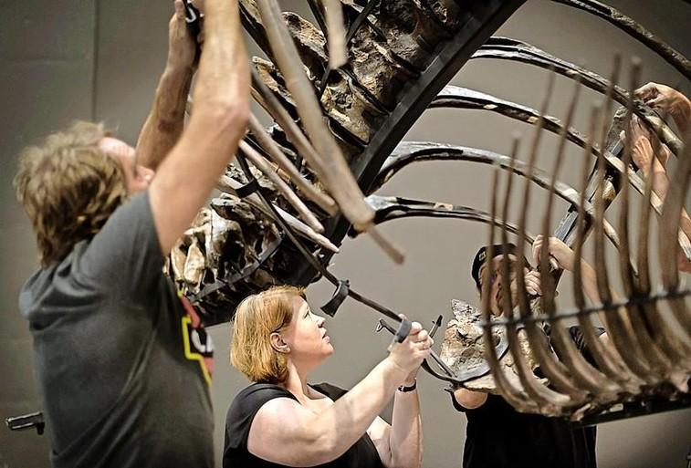 T.rex Trix is terug bij Naturalis: botje voor botje in elkaar gezet [puzzel]