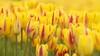 'Mooiste tulpen als steun in de rug': Voorhoutse telers voeren actie voor de zorg