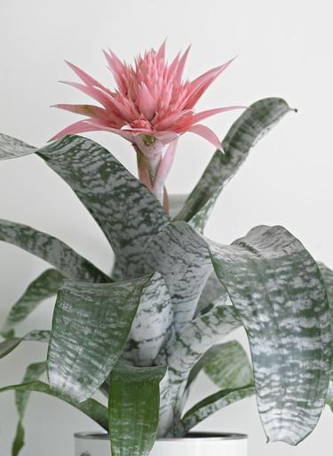 Met de bromelia haal je exotisch groen in huis