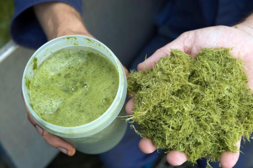 Nog even en we kijken er niet meer van op: een sapje gemaakt van gras.